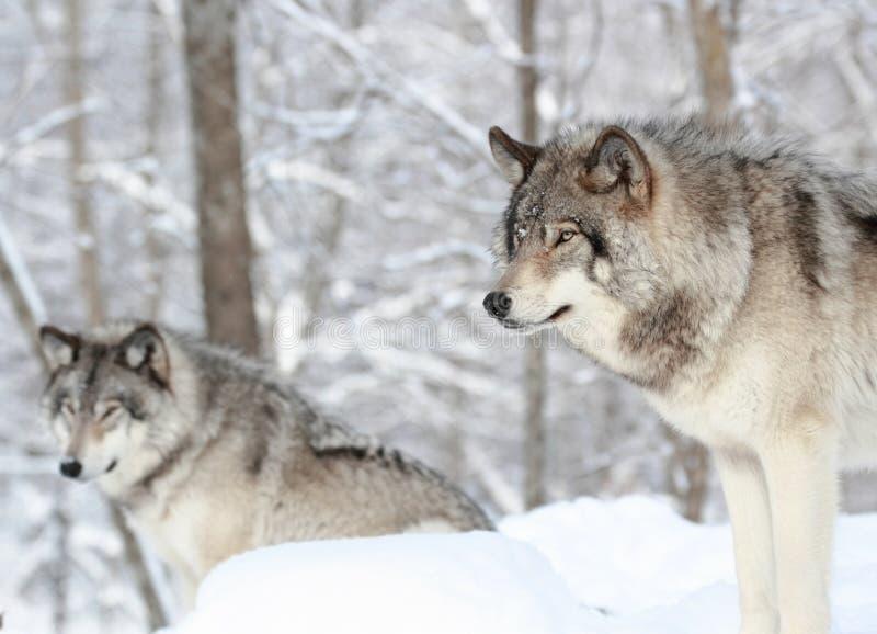 Deux loups photographie stock libre de droits