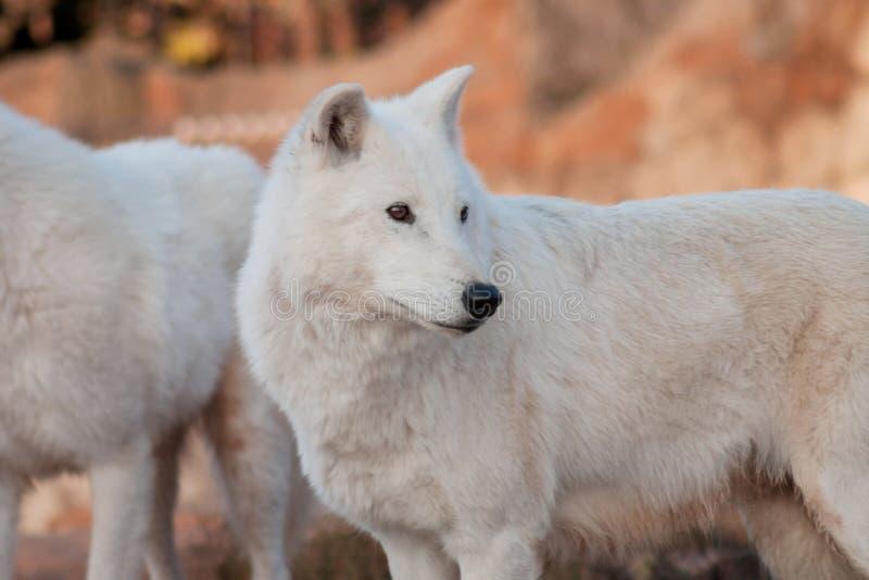 Deux loups d'Alaska sauvages de toundra Arctos de lupus de Canis Loup polaire ou loup blanc photos stock