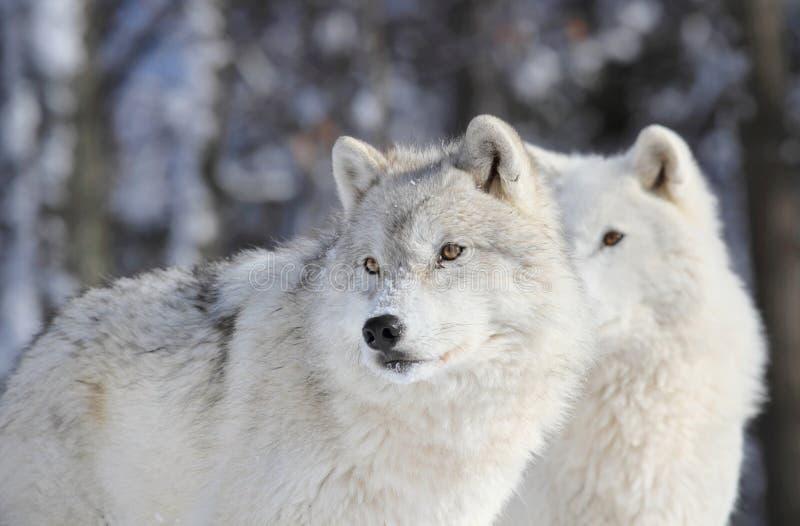 Deux loups en hiver photographie stock