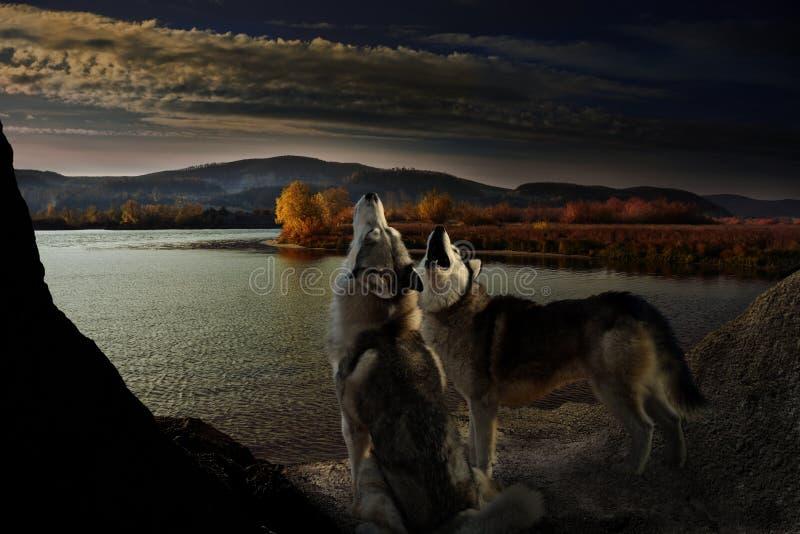 Deux loups hurlent sur la berge de l'automne image libre de droits