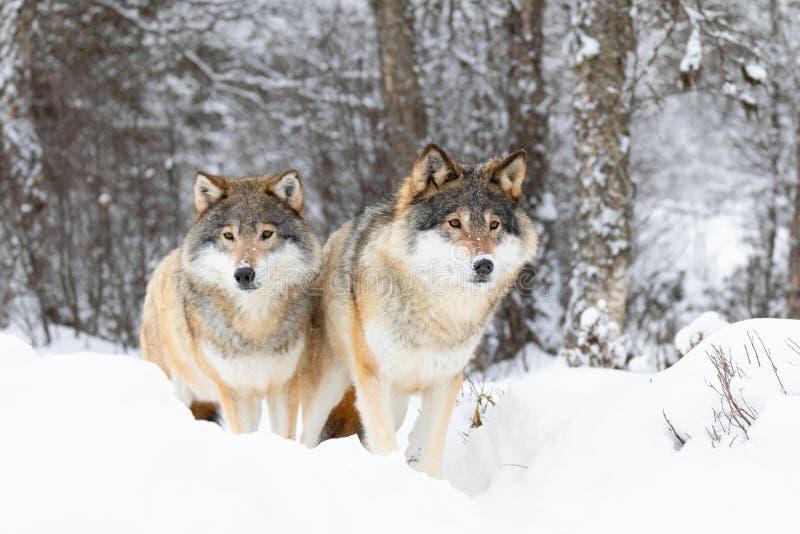 Deux loups magnific dans la meute de loups dans la forêt froide d'hiver images libres de droits
