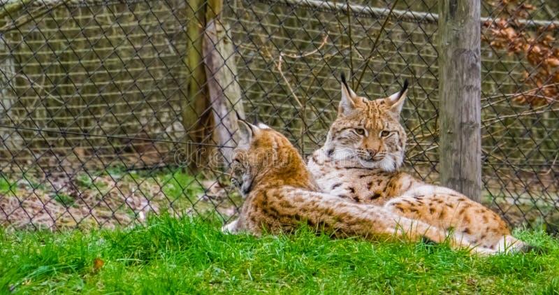 Deux lynx eurasiens s'étendant ensemble dans l'herbe, chats sauvages de l'Eurasie photographie stock libre de droits