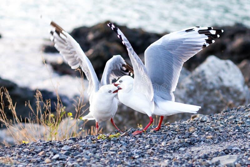 Deux mâles à bec rouge se battant pour montrer leur domination sur la côte océanique à Wellington image libre de droits