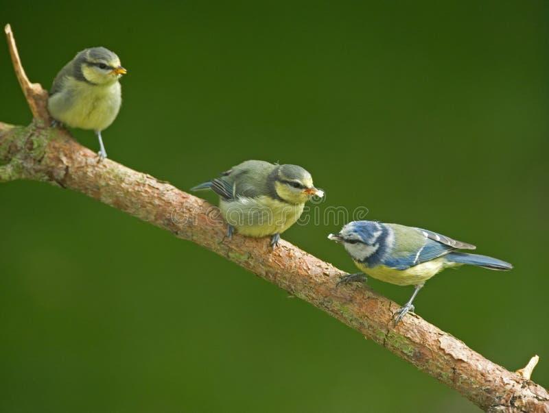 Deux mésanges bleues et oiseaux juvéniles de mère. photographie stock libre de droits
