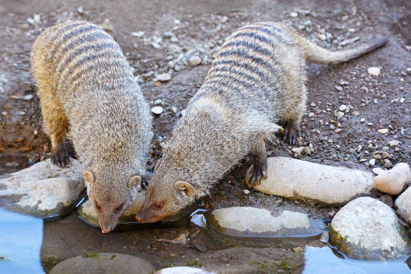 Deux mangoustes réunies, mungo de mungos d'espèces, buvant ensemble à l'endroit d'arrosage photographie stock libre de droits