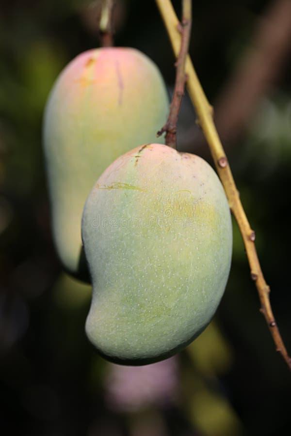 Deux mangues vertes photographie stock libre de droits