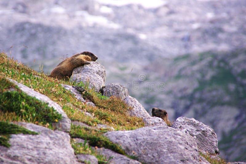 Deux marmottes jouant dans les roches