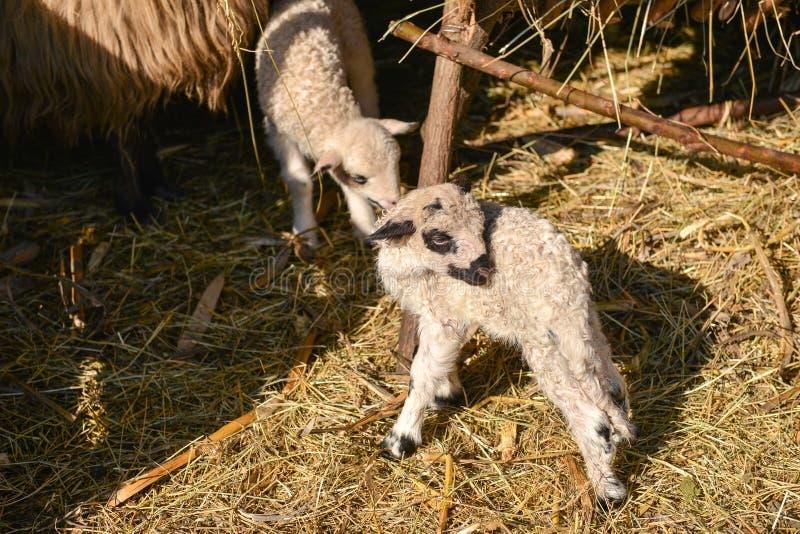 Deux mignons et jeunes agneaux adorables jouant à la ferme images stock
