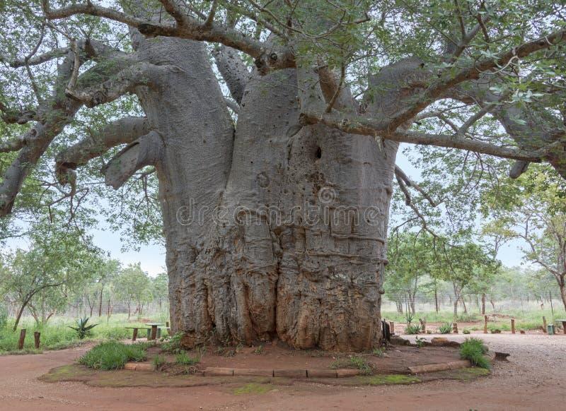 Deux mille arbres de baobab d'ans photo libre de droits