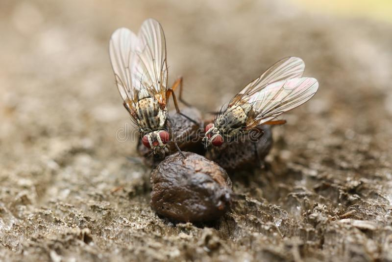 Deux mouches étant perché dessus et absorbant les minerais dans le fumier au R-U photographie stock libre de droits