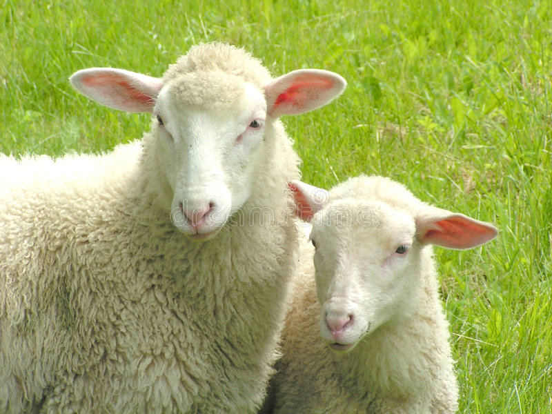 Deux moutons image stock