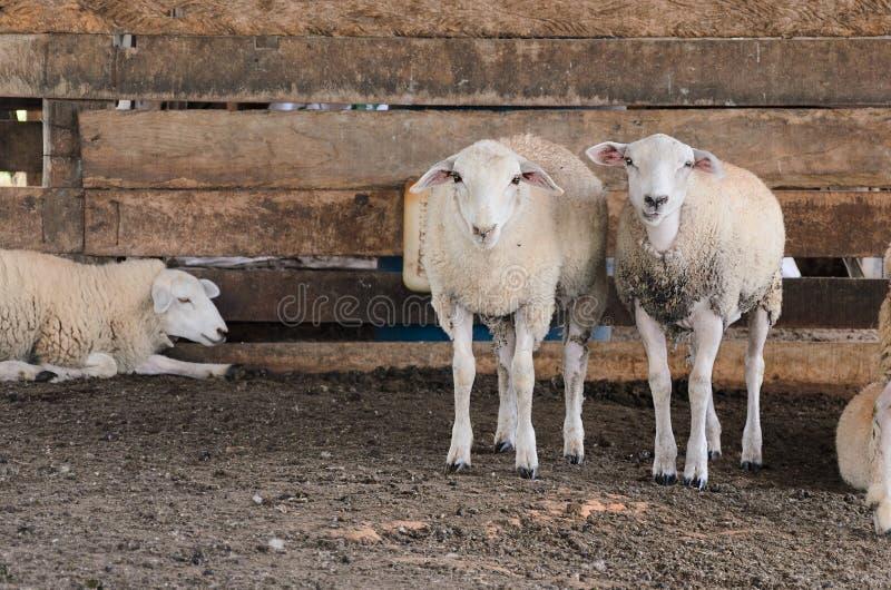Deux moutons blancs à l'intérieur du corral photographie stock libre de droits