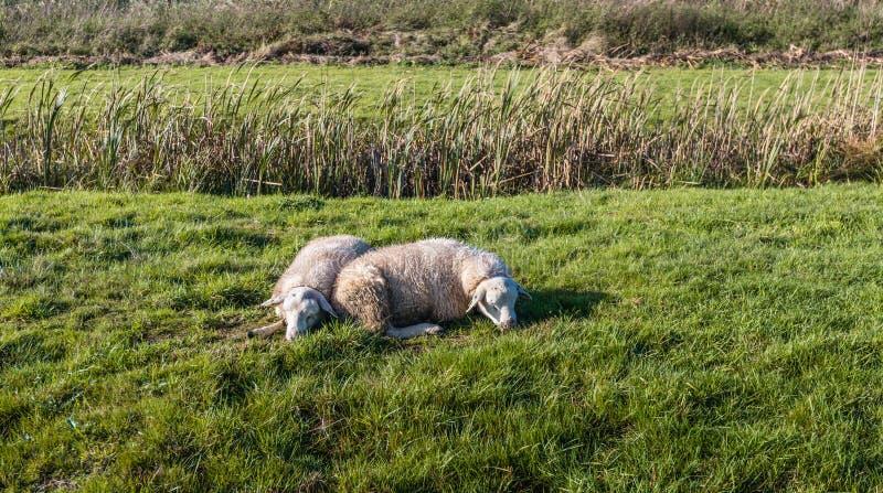 Deux moutons dormant près de l'un l'autre image stock
