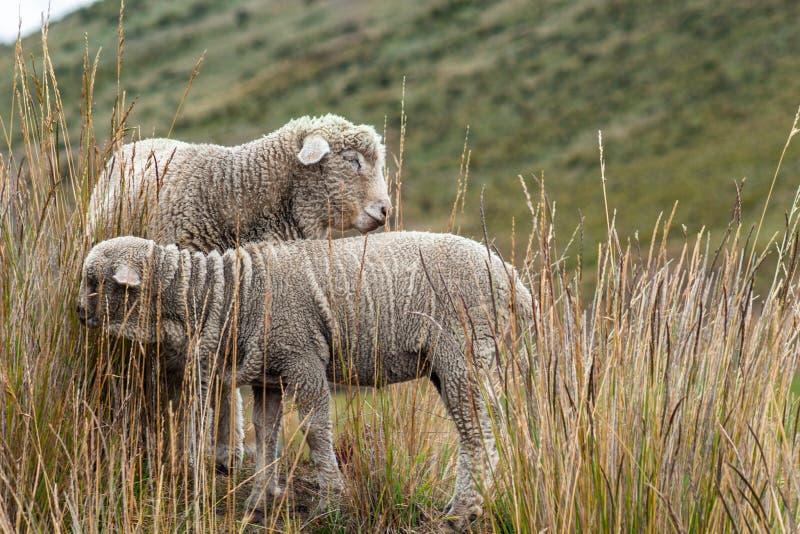 Deux moutons frôlent sur une montagne images stock