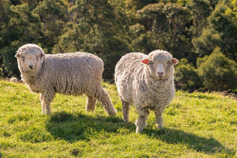 Deux moutons mérinos curieux frôlant sur l'herbe fraîche image libre de droits