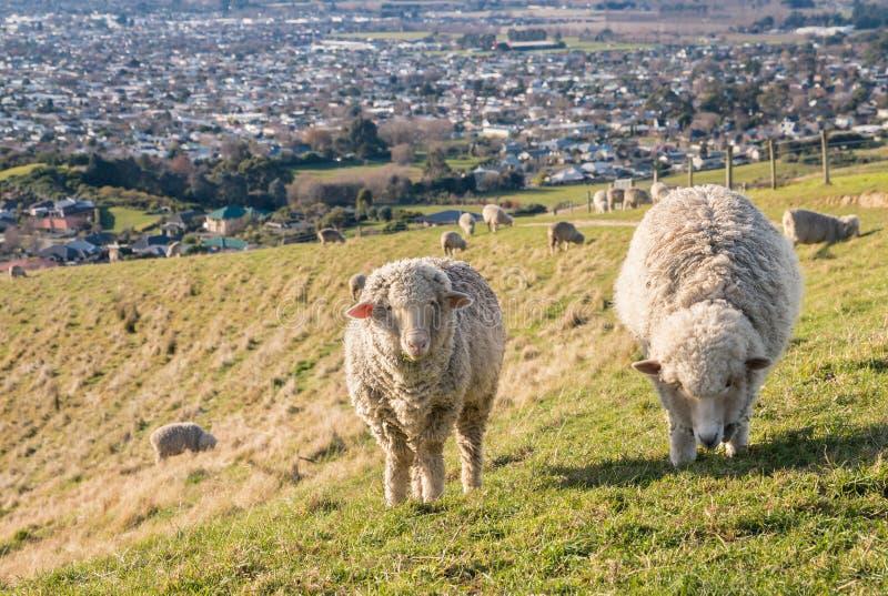Deux moutons mérinos frôlant sur des collines de Wither au-dessus de Blenheim, Nouvelle-Zélande photos stock