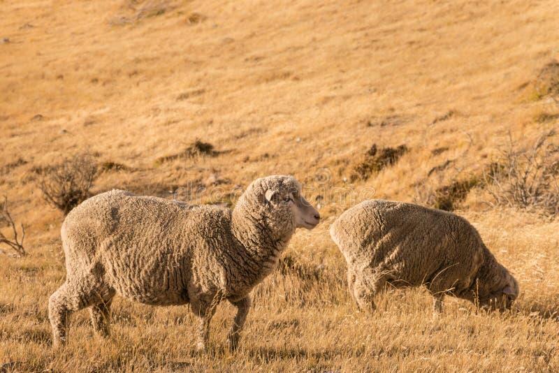 Deux moutons mérinos frôlant sur l'herbe sèche photo libre de droits