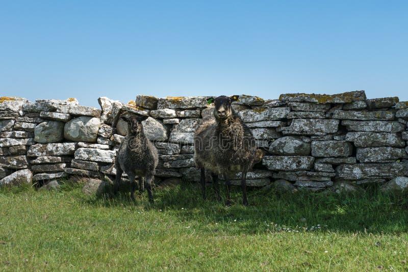 Deux moutons noirs se tenant contre un vieux mur en pierre photographie stock