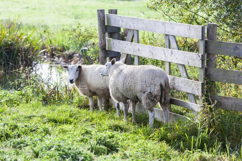 Deux moutons près d'une barrière photos stock