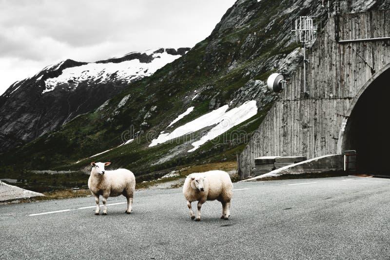 Deux moutons sur une route dans les montagnes de la Norvège avec la neige sur le dessus photographie stock libre de droits