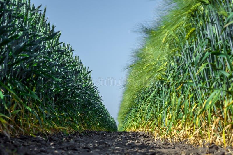 Deux murs des usines parfaitement lisses et semblables du blé et de l'orge, comme deux armées, une vis-à-vis de l'autre contre le images stock