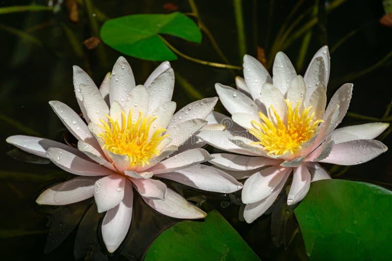 Deux nénuphars ou fleurs de lotus roses lumineux stupéfiants Marliacea Rosea dans le vieil étang Nympheas avec des baisses de l'e photos stock