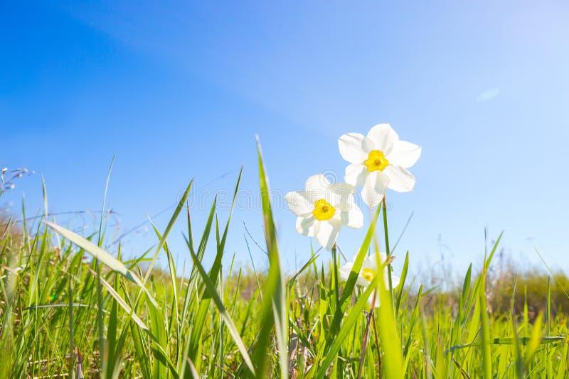 Deux narcisses blancs de l'herbe verte dessus au-dessus du ciel bleu sur le fond de coucher du soleil Poeticus de narcisse photo stock
