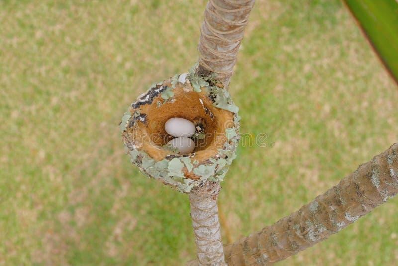 Deux oeufs des colibris verts Éclatant-Gonfler, Chlorostilbon Lucidus, dans leur nid, le Brésil photos libres de droits