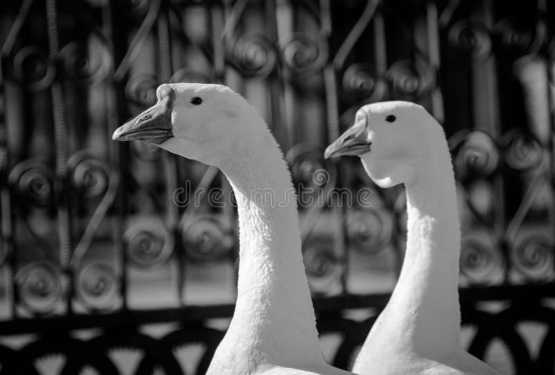 Deux oies photographie stock libre de droits
