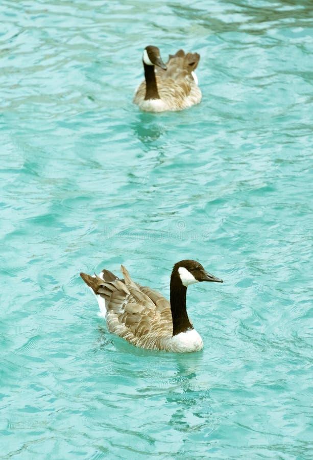 Deux oies adultes nageant dans le lac photographie stock libre de droits