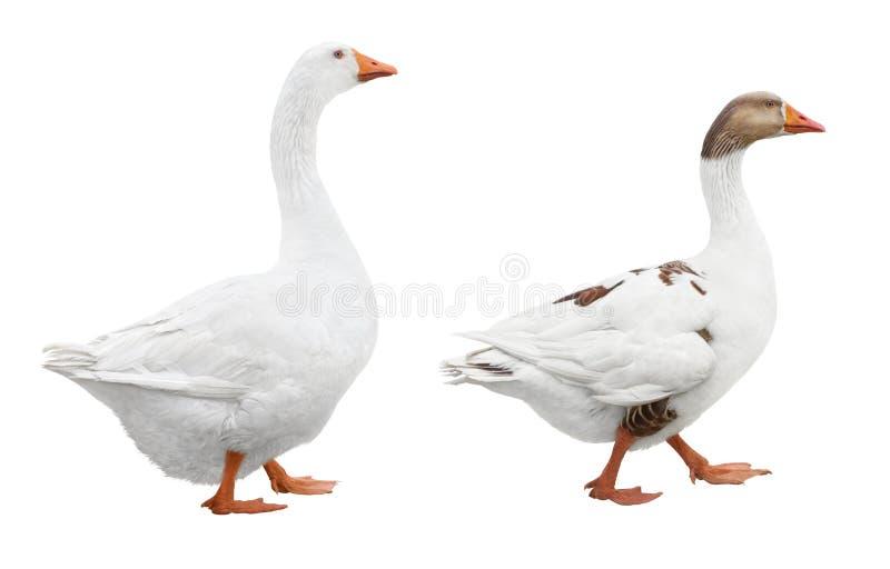Deux oies blanches images libres de droits