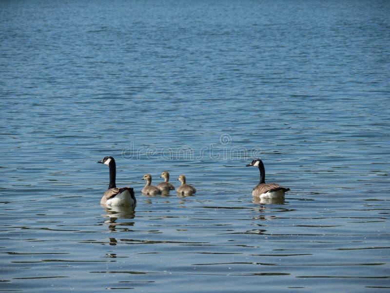 Deux oies de Canada nageant avec trois oisons sur un lac images stock