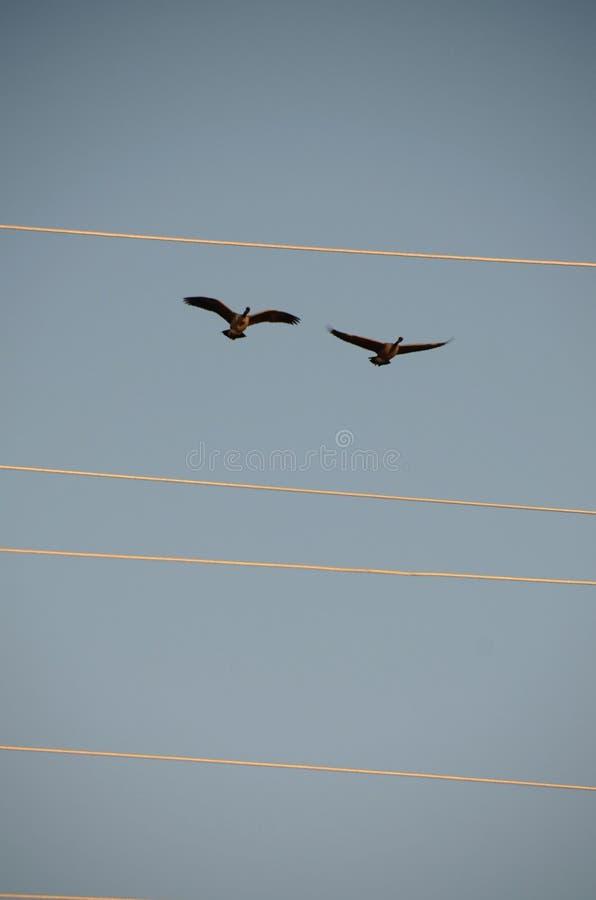 Deux oies de Canada volant au-dessus des lignes électriques photos libres de droits