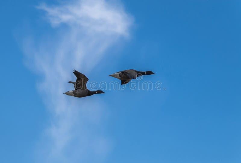 Deux oies du Canada contre le ciel bleu photos libres de droits