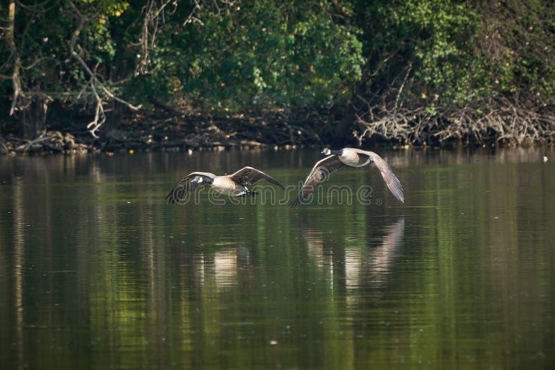 Deux oies du Canada volant bas au-dessus de la rivière photographie stock libre de droits