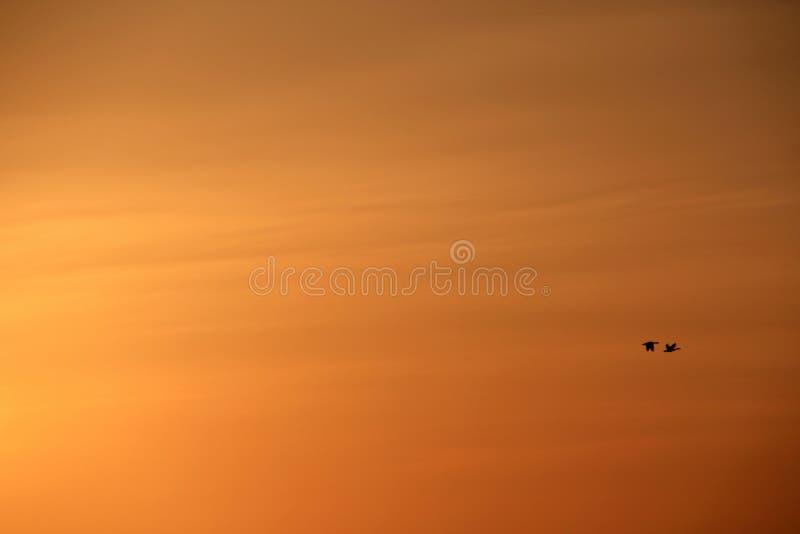 Deux oies volent au coucher du soleil images libres de droits