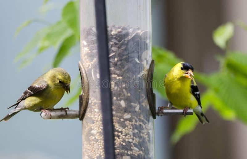 Deux oiseaux américains de chardonneret mangeant la graine pour les oiseaux au conducteur de tube photo stock