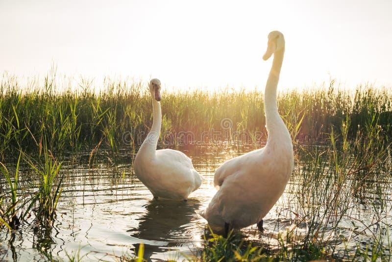 Deux oiseaux blancs de cygne sur le lac au coucher du soleil images stock