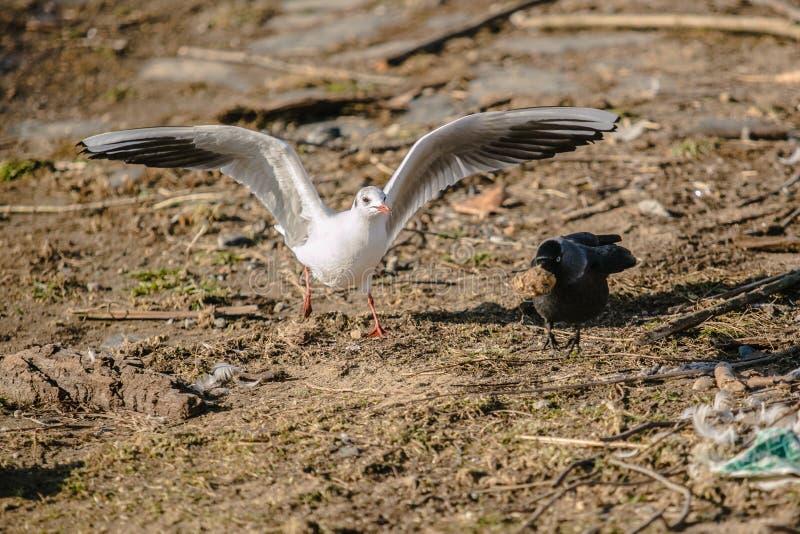 Deux oiseaux combattant au-dessus d'un morceau de pain photos stock