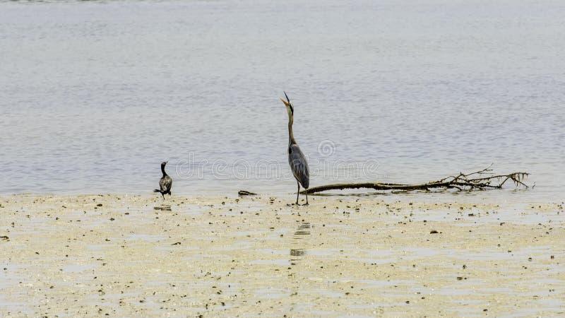Deux oiseaux combattant au-dessus du territoire au bord du rivage photos stock