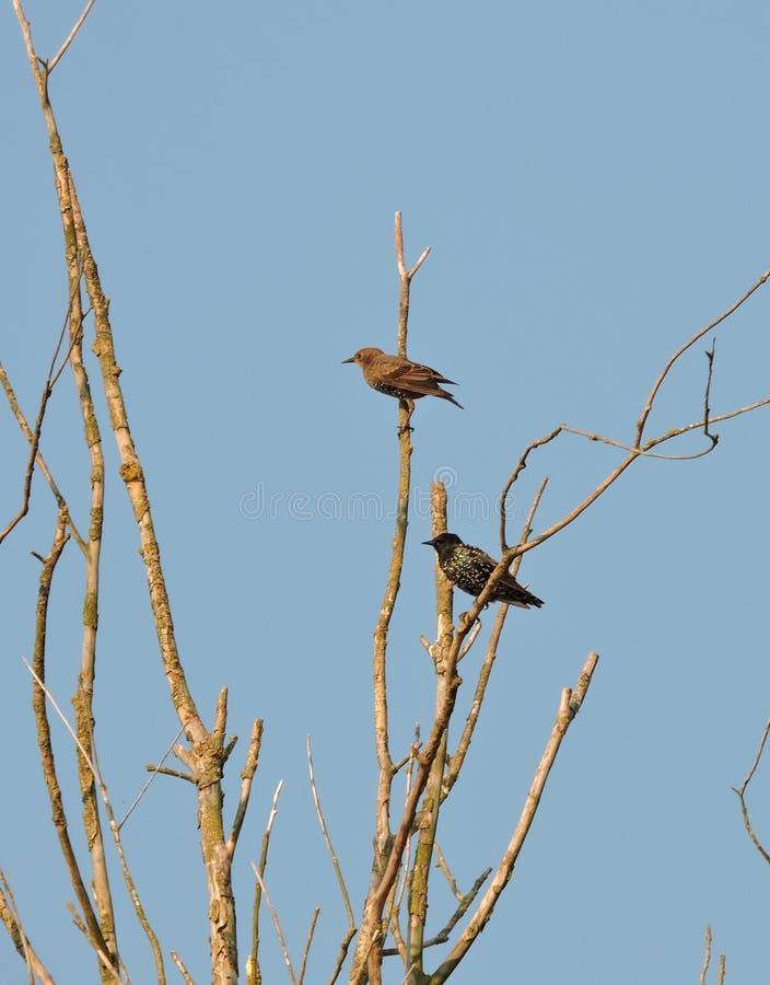 Deux oiseaux d'étourneau, Lithuanie image libre de droits