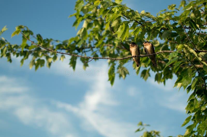 Deux oiseaux d'amour étés perché sur une branche photographie stock
