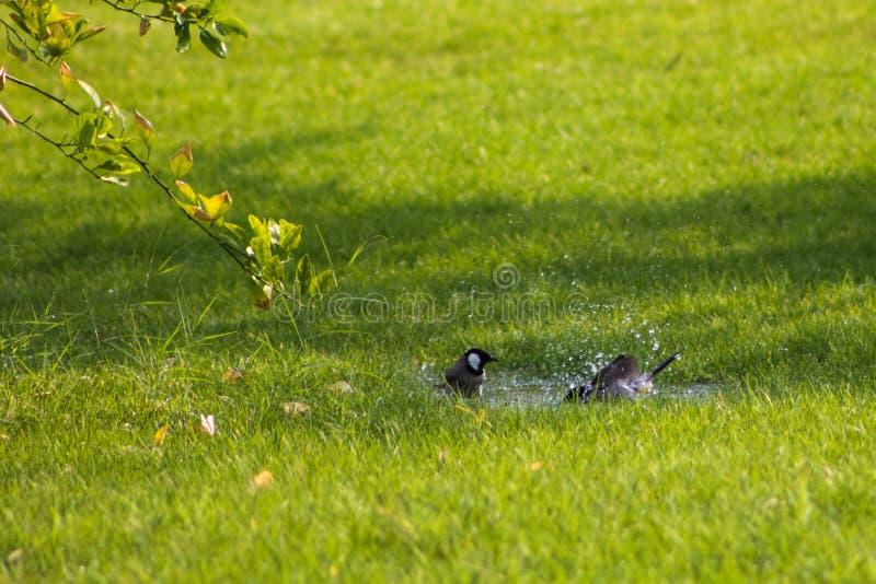 Deux oiseaux de Bulbul partageant un bain photos stock
