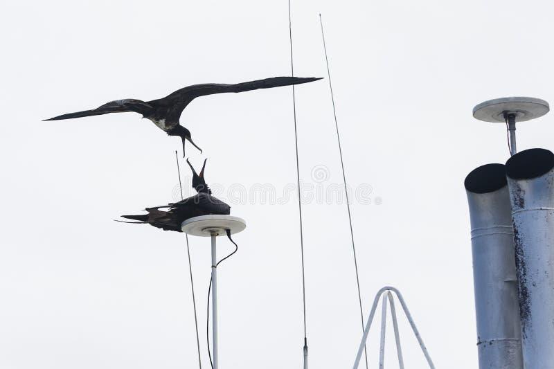 Deux oiseaux de frégate se combattant image stock