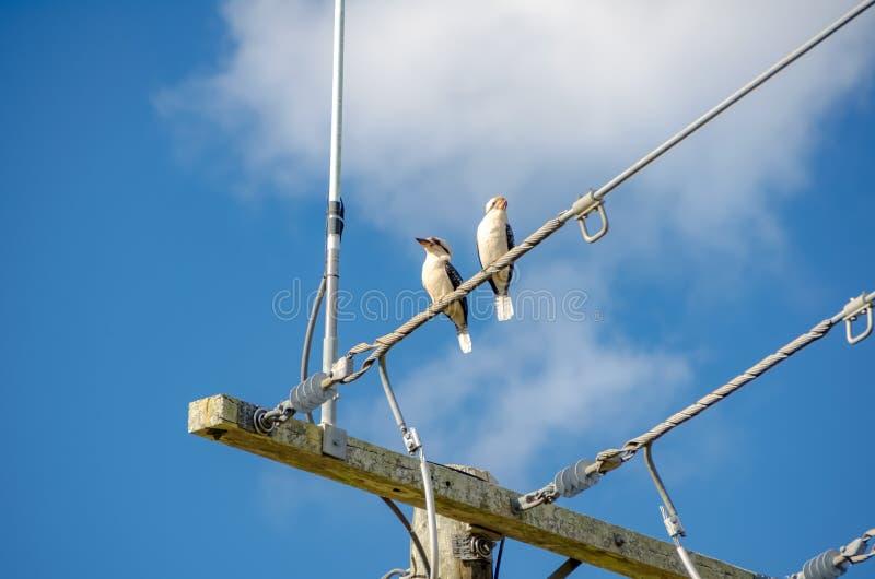 Deux oiseaux de martin-chasseur un jour ensoleillé ayant le repos photos stock