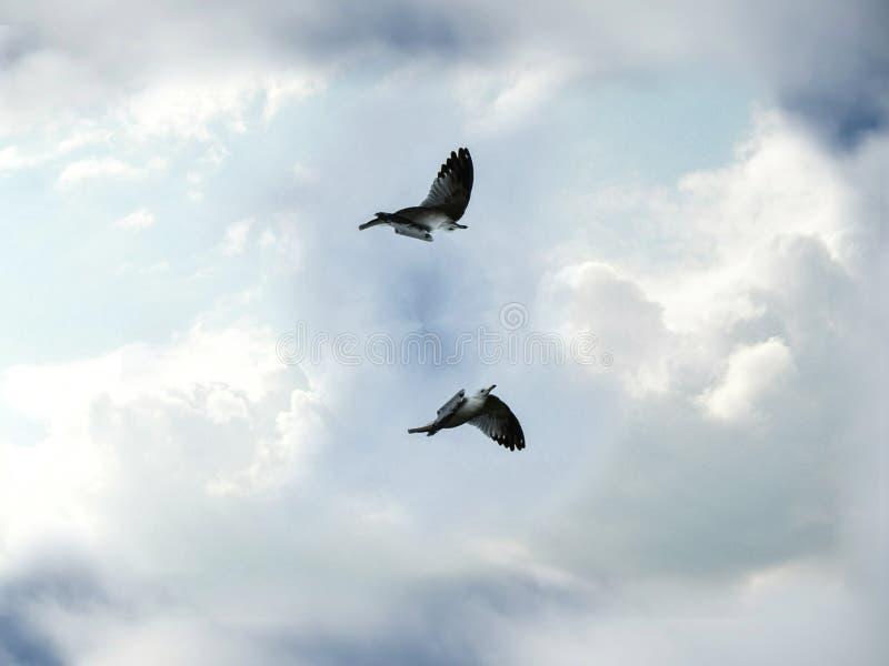 Deux oiseaux de mouette volant et tourbillonnant dans le ciel bleu nuageux photo libre de droits