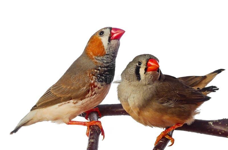 Deux oiseaux de pinson de zèbre image libre de droits