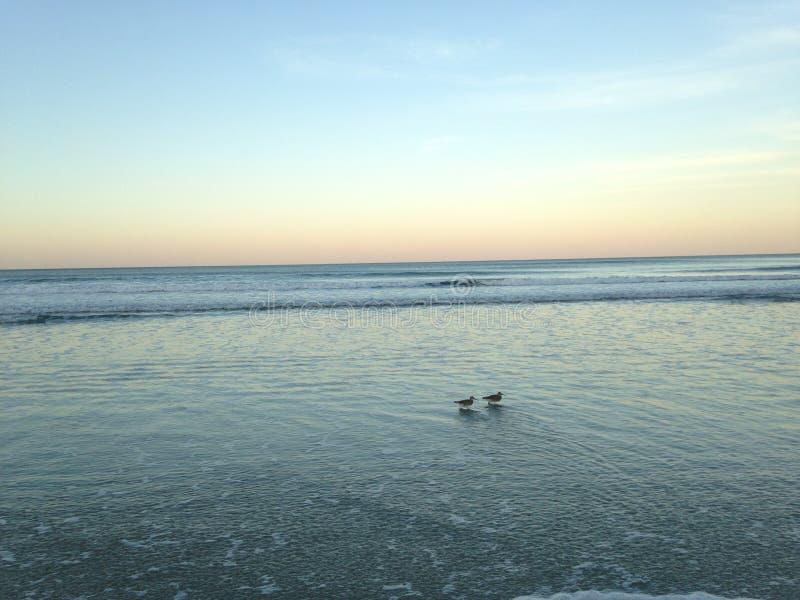 Deux oiseaux de Willet chez Daytona Beach du sud pendant le coucher du soleil image stock