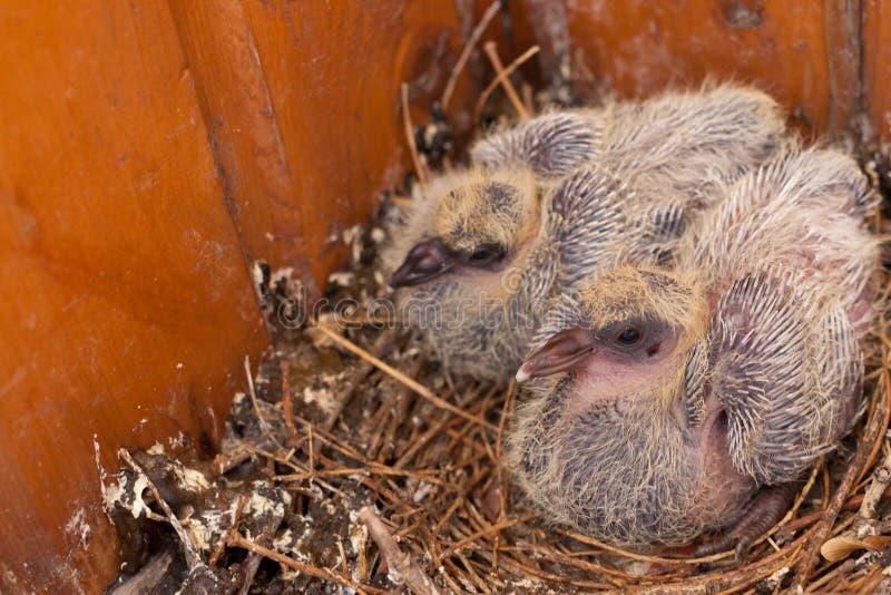 Deux oiseaux sauvages de colombe de poussins dans le nid images libres de droits