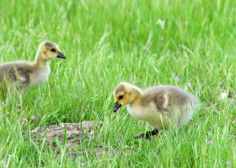 Deux oisons dans la marche d'herbe image libre de droits